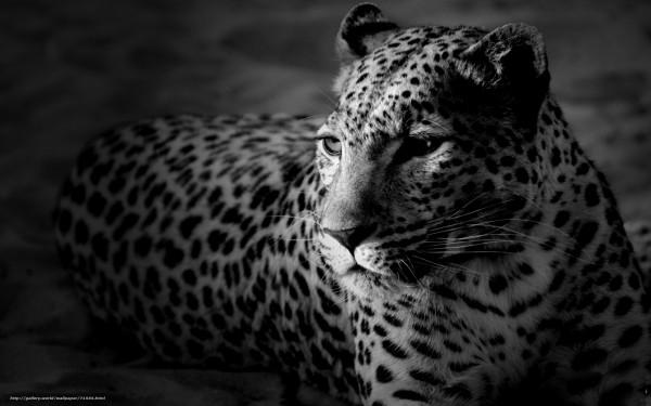 71556_leopard_morda_cherno-belye-oboi_1920x1200_(www.GdeFon.ru).jpg